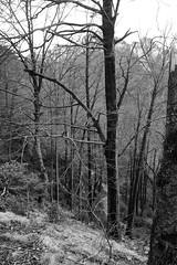 Arboleda en pendiente (Lograi) Tags: barcelona blackandwhite bw espaa mountain tree byn blancoynegro forest geotagged blackwhite spain nikon catalonia bn bosque rbol catalunya montaa catalua berga queralt espanya nikond40 geoetiquetada