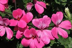 Pink Geranium Blooms 001 (Chrisser) Tags: flowers ontario canada nature garden spring gardening fourseasons geraniums closeups pelargoniums geraniacee canonefs1855mmf3556islens canoneosrebelt1i
