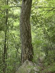 Pino nero (Pinus nigra)
