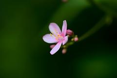 DSC_5241 (shingwsl) Tags: fx d610 bokehlicious flowersmacroworld