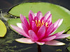 Pink water lily (pat.bluey) Tags: pink flowers friends friend waterlily australia newsouthwales 1001nights flickraward 1001nightsmagiccity hennysgardens sunrays5 gosfordgardens
