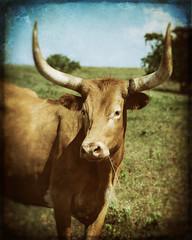 Relaxing in the Sun (Tony Hochstetler) Tags: ranch sun texture oklahoma grass cow nikon wayne longhorn textured nikon2870mmf28 d800e