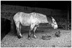 The horses friend (Viramati) Tags: farmyard horse friends chicken stable