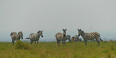 Roaming Zebra (janetfo747 ~ Dreaming of Africa) Tags: nairobi nairobinationalpark park animals wild africa zebra impala capebuffalo ostrich cityscape giraffe