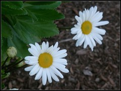 Two Daisies At Lowell 5 Bank - Photo by STEVEN CHATEAUNEUF - October 14, 2016 (snc145) Tags: flowers daisies leaves bud bark autumn fall seasons nature photo pretty beautiful october142016 stevenchateauneuf macro soe autofocus vividstriking