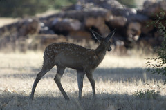 Mule Deer_3214 (Mike Head - Jetwashphotos) Tags: deer muledeer fawn spotted young offhwy139 ca california californiastate goldenstate us usa america