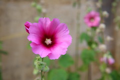 Lovely flowers (Go Go Janet) Tags: parallel vertical flowerbud hollyhock pink    holly hock