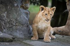 2016-10-06-0118 (BZD1) Tags: lion whitelion nature natura leeuw mammal animal olmensezoo carnivore carnivora panthera pantheraleo cats felidae cat bigcat bigfive witteleeuw baby cub welp