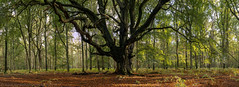 The Learned Tree Panorama (NED_KELLY_GUY) Tags: ancient autumn ferns calm leafy canopy trees monument sidelight shadows panorama lateafternoon microclimate centapixel woodland hdr twisted tripod dominating tree pollard forest peaceful mighty stitched leaves chilterns beechtree branches hertfordshire