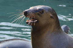 "Just call me ""Whiskers"" (ucumari photography) Tags: ucumariphotography animal mammal nc north carolina zoo october 2016 sealion pinniped zalophuscalifornianus dsc6483 specanimal"
