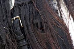 161008 - 4254 (Adrian Lacamp) Tags: heavyhorses lookingback heritage workinghorses beautifulanimals hayfarmheavyhorsecentre