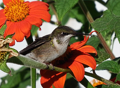 Resting! (kendoman26) Tags: bird hummingbird resting flower mexicansunflower fuji fujifinepix fujifinepixs1 bridgecamera topazsoftware topazdetail