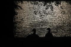 By the lake (jasu_2009) Tags: canoneos1100d lake finland night bird brantacanadensis
