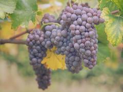 Natures bounty (A_Peach) Tags: panasoniclumixgx8 olympusf1845mm wine grapes wein weintrauben trauben vinyard weinberg autumn herbst