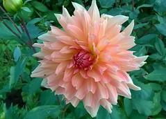groe rosa Dahlie im Kchengarten in Eutin (evioletta) Tags: dahlie rosa eutin garten september