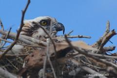 Osprey/Balbuzard pêcheur-Flamingo, Everglades,FL