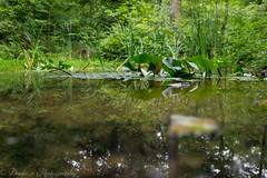 Spiegelung (Dixde - Photography) Tags: wald wood teich tmpel spiegelung wasser water flora fauna sony sonyalpha7ii adaptiert sigma sigma35mmf14art deutschland badenwrttemberg wannweil tbingen reutlingen