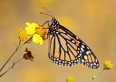 Monarch Butterfly #358 (Az Skies Photography) Tags: october 9 2016 october92016 10916 1092016 insect flying butterfly flyinginsect macro canon eos rebel t2i canoneosrebelt2i eosrebelt2i madera canyon arizona az maderacanyon maderacanyonaz wildlife sonoran desert sonorandesert monarch monarchbutterfly danaus plexippus danausplexippus