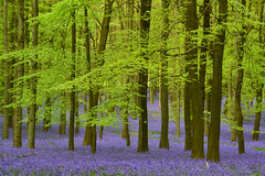 il bosco incantato (C-Smooth) Tags: bluebellwoods flowers nature purple trees colourst landscape green bluebells