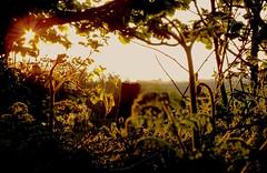 Growth (Vide Cor Meum Images) Tags: mac010665yahoocouk markcoleman markandrewcoleman videcormeumimages vide cor meum fuji fujifilm finepix hs20exr devon tiverton leafy growth sunset balmy flare vegetation lane fields