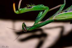 Europische Gottesanbeterin (tim.lee Rookie Photograph) Tags: mantis religiosa europische gottesanbeterin gardasee italien macro makro