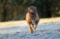 Running dog (laurencebissett) Tags: doguedebordeaux running dog fast