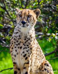 The Royal Cheetah (jhambright52) Tags: cheetah cheetahcloseup coth5 ngc naturethroughthelens