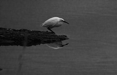 al acecho. (pernelle44) Tags: mouette oiseau afft ingrandes fresne loire