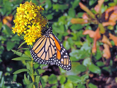 Monarch Butterfly (Danaus plexippus) (Bill J. Estes) Tags: williamjestes billjestes william j estes bill nature photo new jersey nj cape may point county capemay butterfly insect insecta lepidoptera nymphalidae milkweed danaini monarchbutterfly monarch danaus plexippus danausplexippus state park capemaypointstatepark