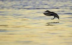Canard Colvert (Mallard) (yveshebert) Tags: mallard colvert birds oiseaux oiseauxduqubec outaouais ottawariver wildlife qc quebec qubec herons5