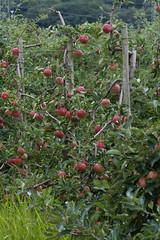 ckuchem-2460 (christine_kuchem) Tags: apfelplantage biolandwirtschaft erntezeit landbau landwirtschaft naturhof obstplantage biologisch obstbã¤ume reif ãpfel