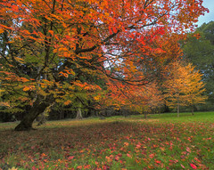 Autumn Dreams (Wizard CG) Tags: westonbirt arboretum autumn gloucestershire england grade one listed historic landscape finest tree collections rare exotic trees beautiful vistas victorian picturesque plant outdoor foliage serene grass flower