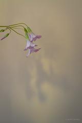 Semplice (AvideCai) Tags: avidecai tamron2470 flores casa