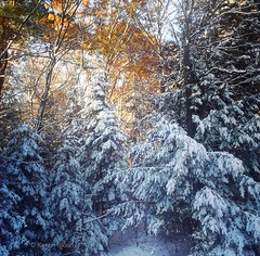Winter in October - Only in Canada (Karen @ Wall Flower Studio) Tags: wallflowerstudio winter october 2016 snow yuck hurryupandmelt trees forest garden tooearlyforsnow viewfromkitchenwindow