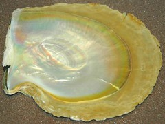 Pinctada maxima (gold-lipped pearl oyster) (James St. John) Tags: pinctada maxima pearl oyster oysters pearls shell shells