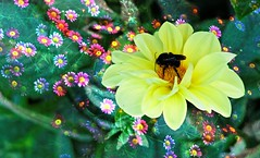 IMG_4208 Paradise stop (Rodolfo Frino) Tags: bumblebee insect animal fauna flor flores flower flowers fiori blumen yellow summer bright color colour beauty plants depthoffield