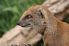 Yellow Mongoose (charliejb) Tags: yellowmongoose fur furry furred mammal mongoose cotswoldwildlifepark burford wildlife 2016