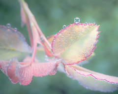 Dancing with Dew Drops (Charles Opper) Tags: autumn autumninspirationsi canon fall bokeh color dew drops leaves light macro minimal nature pastel roseleaves soft