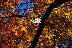 Idlewild Park Reno (Narodnie Mstiteli) Tags: oaktree idlewildpark reno nevada fallcolor arboretum hardwood deciduous