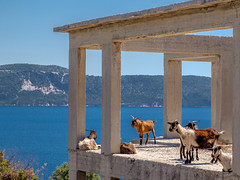 Kids' House Party (Rupert Brun) Tags: 2016 greece greek ionian island kefalonia may spring kefallonia peloponnisosdytikielladakeionio gr agiasofia explored villa unfinished incomplete goat goats kid kids sea view seaview ithaca