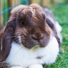 Bob's relaxing on a summerday (fkelch) Tags: niedlich sweet cute tiefenentspannt entspannt relaxed relaxing relax zwergkaninchen kaninchen pet animal slack schlappohr dwarfrabbit rabbit hasen haustier tiere imgarten zuhause