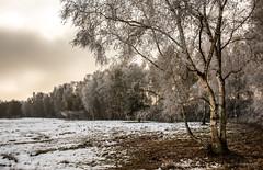 Sevengeti - Winter - Birkenhain (Pana53) Tags: photographedbypana53 pana53 wintertime winterlandscape naturundlandschaftsfotografie naturfoto naturschutzgebiet naturfotografie seeve seevelandschaft sevengeti over hörsten maschen junkernfeld biotope pflanzen bäume tiere rehe auen flus reiher birken panorama wege leinenpflicht erlen florafauna rauhreif kälte nikon nikond810 elbe outdoor birkenhain