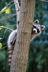 Playful (IMG_5192) (katalin_kerekes) Tags: raccoon procyonlotor play
