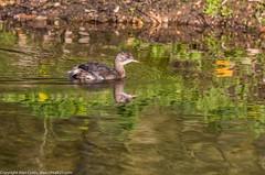9Q6A8732 (2) (Alinbidford) Tags: alinbidford alancurtis brandonmarsh greyheron heron littlegrebe pochard blackheadedgull muteswan cormorant