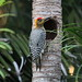 *** Pic élégant / Golden-cheeked Woodpecker  (male)- melanerpes chrysogenys