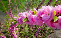 Rose chain (kud4ipad) Tags: 2015 киев ботаническийсад весна цветы flower garden kiev botanic spring outdoors