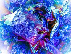 the first snow of winter (CAJC: in the Rockies) Tags: snow leaves winter lgg4 hss sliderssunday lightroom lightroompresets punch matte colorsliding temperatureslide