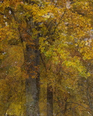 Maples - an impressionistic portrait (Rod Raglin) Tags: canopy mapletrees mapleleaves fall autumn impressionisticportrait dazzling glorious infiniteshades intricatedesigns cadmium sienna umber goldencanopy
