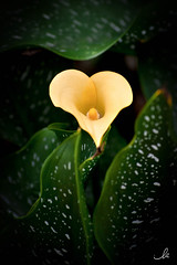 Heart into the flower (ila.bona) Tags: leaves fiore love left ilabona vignettatura vignetting flowers heart nature yellow ila light