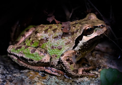 Pacific Tree Frog, Pseudacris regilla (Nicholas Lyle) Tags: micronikkor 55mmf28